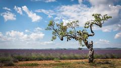 L'amandier (pascal548) Tags: arbre entrevenes alpesdehauteprovence france