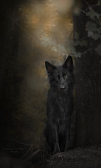 guardian of a magical forest (kahora777) Tags: dogphotography animalsphotography petphotography portrait outdor wood wolf magical blackdog