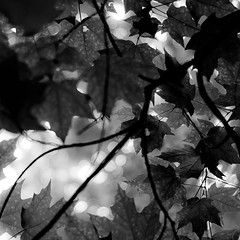 Up Through Trees 046 (noahbw) Tags: captaindanielwrightwoods d5000 dof nikon abstract blackwhite blackandwhite blur bokeh branches bw depthoffield forest leaves light monochrome natural noahbw shadow spring square trees woods