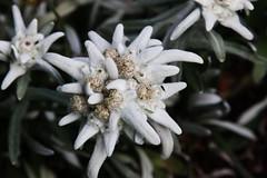 Edelweiss (Hugo von Schreck) Tags: hugovonschreck flower blume blüte edelweiss macro makro canoneos5dsr tamron28300mmf3563divcpzda010