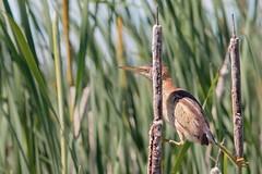 Petit blongios (5) (boisvertvert1) Tags: michelboisvert 2018 birds oiseaux petitblongios leastbittern canada canon canon70d ef300mmf4lisusm