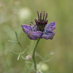 Naissance d'une fleur *----+ (Titole) Tags: nigellededamas nigella nigelle nigelladamascena titole nicolefaton squareformat purple stamen 15challengeswinner