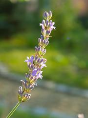A lavender stem (Raoul Pop) Tags: garden summer flowers plants purple outdoors sunlight evening lavender home