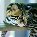 Ocelot (Leopardus pardalis) of Yokohama Zoological Gardens :  オセロット(よこはま動物園ズーラシア)