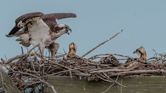 Pay attention kids. This is a fish. No more junk food. Explored (thank you) (Kevin E Fox) Tags: osprey chicks nest nesting newjersey edwinbforsythe edwinbforsythenationalwildliferefuge fish forsythe bird birding birdwatching birds nature nikond500 nikon sigma150600sport sigma