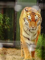 Valesca - Walking the rounds (Rasenche) Tags: animal carnivore cat mammal bigcat annapaulowna stichtingleeuw tiger panthera tigris altaica mammalia