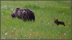 #139 and her young (CrzyCnuk) Tags: alberta grizzlybear grizzly canada canon6d wildlife canon kananaskis