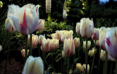 Twilight Tulips (brucecarlson66) Tags: tulip twilight bask glow late day light red white green beauty flower stalk alive plant spring blooming perennial herbaceous bulbiferous geophyte large showy bright color tulipa lilloideae butchart gardens victoria british columbia canada vancouver island peace serenity