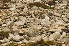 Snowy Owl well camouflaged (ejwwest) Tags: hebrides buboscandiacus atlantic scotland owl islands northatlantic hirta stkilda birds wildlife