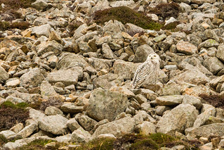 Snowy Owl well camouflaged