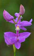 Doing the Dew -- Take 1 (Lee Casebere) Tags: calopogontuberosus grasspink