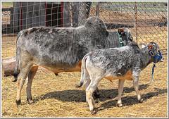 Miniature Zebu Cows (2.6 Million + views!!! Thank you!!!) Tags: canon eos 70d 1022mm psp2018 paintshoppro2018 efex topaz animals triplecfarm farm livestock cow zebu geotagged