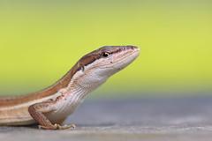 Takydromus formosanus (Endemic to Taiwan) 臺灣草蜥 (特有種) (YoyoFreelance) Tags: takydromus formosanus endemic 臺灣草蜥 特有種 台灣特有種 臺灣特有種 endemicspecies 草蜥