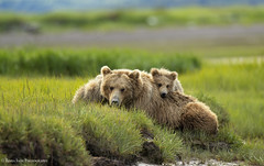 The Closer (rishaisomphotography) Tags: grizzlybear babyanimal babybear cub mommabear katmainationalpreserve usfws nationalwildliferefuge nature naturephotographer canon wildlife wildlifephotography rishaisomphotography alaska adventure explore family hallobay inexplore explored