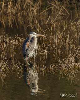Great Blue Heron_20A8981
