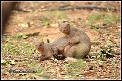 8016 - mongoose (chandrasekaran a 50 lakhs views Thanks to all.) Tags: mongoose mammals nature india chennai canoneos6dmarkii tamronsp150600mmg2