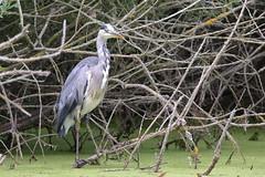Grey Heron (Ardea cinerea) (hazzac2004) Tags: greyheron ardeacinerea