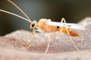Ponerinae (Formicidae)