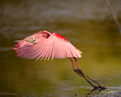 Dirty Feet (craig goettsch) Tags: sanibel2018 baileytract rpseatespoonbill avian pink wildlife nature animal nikon d850