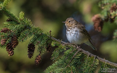 Swainson's Thrush (salmoteb@rogers.com) Tags: bird wild outdoor nature wildlife ontario canada toronto songbird perch animal swainsons thrush