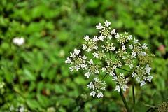 ombrellifera / umbellifer (frank28883) Tags: ombrellifera umbellifer verde bokeh closeup fiorellini