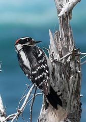 Downy Woodpecker (Kath Stennett) Tags: bird canada downywoodpecker greengardenshike grosmorne nationalpark newfoundland picoidespubescens