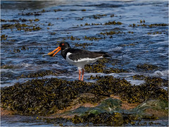 Oyster Catcher (Paul West ( pwest.me )) Tags: holyisland nature birds oystercatcher naturelovers wildlife wildlifepics macro wildlifepictures wildlifephotographer wildlifephotography naturephotography naturepictures naturephotographer birdphotography wildlifephoto animal naturephotoportal poultonphotosoc photography wildlifeplanet intothewild wildlifeperfection naturephoto naturepics naturepic followme naturecollection natureseekers