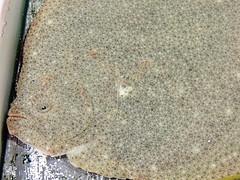 Sole (markb120) Tags: market mart emporium rialto fish sea food seafood animal flounder flatfish plaice sole fluke brill