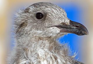 Portrait of an Herring Gull juvenile (Goéland argenté, Larus argentatus) some hours after its first flight. Île Tudy, Finistère, France. 2018/07/15.