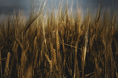 Morning Sunlight on the Wheat Field (michaeldantesalazar) Tags: sunset wheat plants field crop yellow seeds seed farm farming country canada winnipeg manitoba arnes gimli interlake light sunlight golden gold food prairie tallgrass