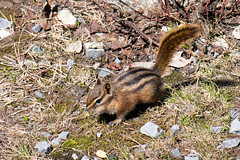 Little chipmunk (quinet) Tags: 2017 canada vancouver britishcolumbia 124