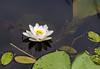 De waterlelie (Nymphaea) (Marco van Beek) Tags: nymphaea pads nature holland europe beautiful world nikon d5000 afs dx nikkor 18200mm f3556g ed vr ii
