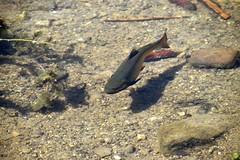 Ugly beast (petrOlly) Tags: europe europa slowakei slovakia slovensko słowacja sk2018 vrbickémountainlake nature natura przyroda water fish animals wateranimal