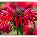 Friday's flower power - die Indianernessel wild und feurig (Sonnenblume♥) Tags: