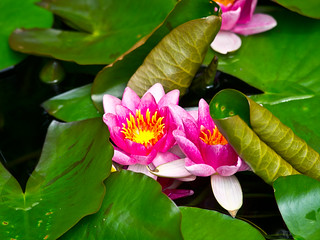 Seerose / Water lily