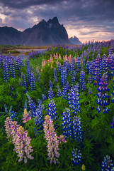 Vestrahorn in Bloom (Iurie Belegurschi www.iceland-photo-tours.com) Tags: adventure arctic beautiful cloudy clouds coastal daytours dreamscape enchanting fineart fineartlandscape fineartphotography fineartphotos finearticeland guidedphotographyworkshops guidedtoursiceland guidedphotographytour guidedtoursiniceland icelandphototours iceland iuriebelegurschi icelandic icelanders icelandphotographyworkshops icelandphotoworkshops icelandphotographytrip sky landscape landscapephotography landscapephoto landscapes landscapephotos landofthemidnightsun midnightsun mountain midnight nature outdoor outdoors overcast phototours photographyiniceland phototour photographyworkshopsiniceland tranquil serene summer sunset sunrise tours travelphotography travel tripsiceland view vestrahorn workshop workshops lupines lupins lupine wildflowers wildflower flowers flower flora floral pink purple purpleflowers mountains mountainrange mountvestrahorn east