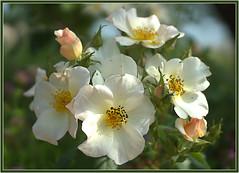 flowers on Sunday!! (atsjebosma) Tags: roses flowers macro summer zomer rozen bloemen atsjebosma tuinen appeltern 2018 wildflowers wilderozen rozenstruik gardens coth5 ngc