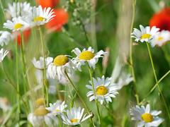 From spring to summer II (Elenovela) Tags: blumen flowers sommerwiese summermeadow sommer summer blüten blossoms margerite marguerite panasonicgh5 olympusmzuiko40150mmf28 elenovela karstenmüller