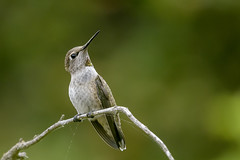 Anna's Hummingbird (f) (Becky Matsubara) Tags: anhu annashummingbird avian bird birds california calypteanna colibridanna colibrícabezaroja ebrpd eastbayregionalparks hummingbird nature outdoors sobranteridge sobranteridgeregionalpreserve wildlife ebparksok