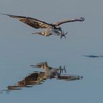 jul_15_6305_osprey_catching_fish thumbnail