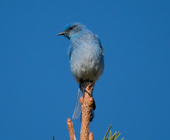 Mountain Bluebird (Sialia currucoides) on Pine: Colorado (mharoldsewell) Tags: 2016 colorado d7200 mountainbluebird nikon sialiacurrucoides bird birds mharoldsewell mikesewell photos sigma 150500mm