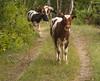 Møøøøøø! (tskogset) Tags: calf cow skjåk oppland norway pentaxk30 sigma flickr