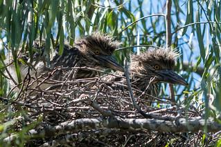Twin Black Crowned Night Heron Babies