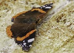 sunbathing (blackfox wildlife and nature imaging) Tags: panasonicg80 leica100400 insects closeups burtonmerewetlands rspb wirral