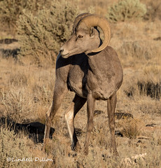 Big Horn Sheep (Lindell Dillon) Tags: bighornsheep ram wildlife nature newmexico taos riograndegorge lindelldillon southwest