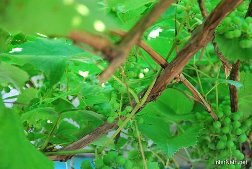 Виноград, Дім, сад, город Ukraine InterNetri 052