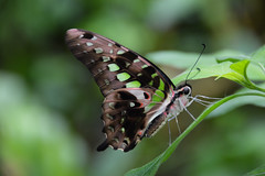 Tailed Jay Butterfly (Graphium agamemnon) (Seventh Heaven Photography) Tags: tailed jay butterfly graphium agamemnon graphiumagamemnon green chester zoo cheshire england nikond3200 closeup bokeh dof insect swallowtail triangle black