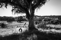 Woods Crossing, Tuolumne County, California (paccode) Tags: solemn d850 landscape bushes brush serious quiet tireswing tire california urban monochrome tree ropeswing blackwhite creepy abandoned forgotten farm fence jamestown unitedstates us