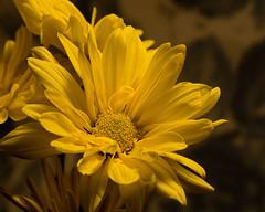 Yellow Mum 1102 (Tjerger) Tags: nature flower bloom blooming plant natural flora floral beautiful beauty black fall wisconsin macro closeup yellow single mum