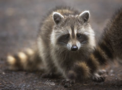 Baby Raccoon (Tami Hrycak ッ) Tags: raccoon baby nature wildlife june2018 tamihrycak naturesgiftscaptured nikond4s photoshop creative soft fluff ball njnature wildnewjersey newjersey cutie specanimal